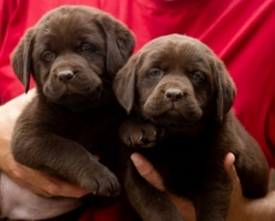 Labrador retriver štenci, braon ženkice