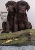 Labrador retriver štenci, čokoladni (braon)