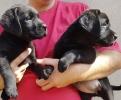 Labrador retriver štenci crne boje