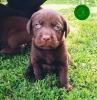 Labrador retriver štenci kvalitetni i negovani