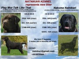 Labrador retriver štenci na prodaju