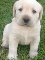 Labrador Retriver - stenci odlicnih krvnih linija
