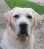 Labrador retriver, stenci vrhunskog kvaliteta
