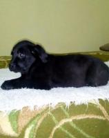 Labrador retriver - štenci