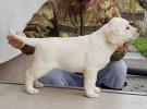 Labrador retriver stenci