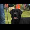 Labrador Retriver štenci !!!