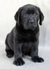 Labrador Retriver, vrhunska čokoladna i crna štenad