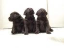 Labrador Retriver vrhunski štenci