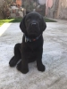Labrador Retriver, žensko štene