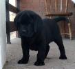 Labrador retriver, zuti i crni stenci
