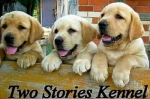 Labrador retriver, žuti štenci