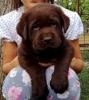 Labrador retriver štenci čokoladne i crne boje