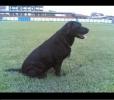 Labrador  retriveri