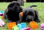 Labrador stenci cokoladne i crne boje