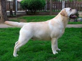 Labrador stenci crne i bele boje
