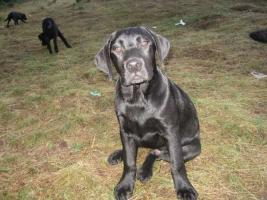 Labrador stenci - izuzetnog porekla