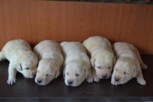 Labrador stenci odlicne krvne linije