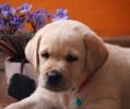 Labrador štenci, prelepi, čistokrvni