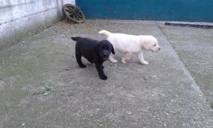 Labrador štenci - šampionskog porekla