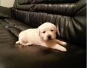 Labrador  štenci vrhunskog kvaliteta