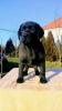 Labrador – štenci vrhunskog porekla