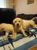 Labrador štenci vrhunskog porekla