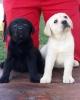 Labrador stenci, vrhunskog porekla