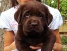 Labradori – crni, žuti i braon štenci