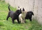 Labradori, stenad