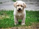 Labradori stenci