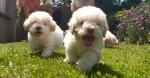 Lagoto Romagnolo prelepi štenci