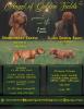 Madjarska vižla vrhunski štenci