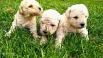 Madjarski puli prelepi kučići