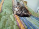 Main coon mačići