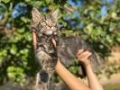 MAINE COON - kvalitetne muske mace