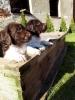 Mali minsterlender, štenci