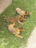 Malinoa – štenci