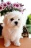 Maltezer i coton de tulear štenci na prodaju