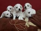Maltezer, snežno beli štenci