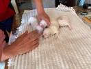 Maltezer štenci izložbenog potencijala