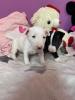 Mini BULTERIJER štenci