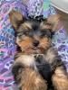 Mini Jorki Terijer, štenci