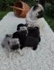 MOPS štenci vrhunskog kvaliteta