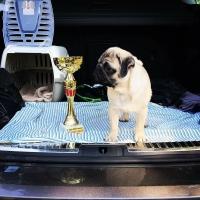 Mops štene na prodaju
