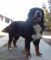 Mužjak Bernskog planinskog psa - slobodan za parenje