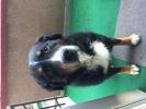 Muzjak Bernskog Planinskog Psa trazi zenku za parenje
