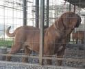 Muzjak BORDOSKE DOGE za parenje