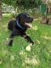 Mužjak Labradora za parenje