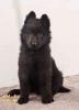 Na prodaju kvalitetna štenad Belgijskog ovčara Groenendaela