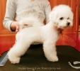 Na prodaju prelepi štenci Kovrdzavog Bišona